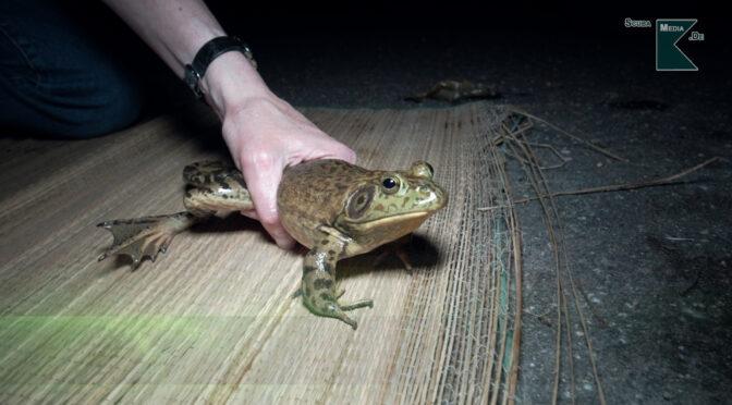 Invasion in unseren Seen – Der Ochsenfrosch